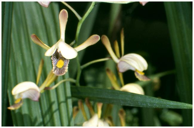 Eulophia (angolensis x caricifolia) natural hybrid