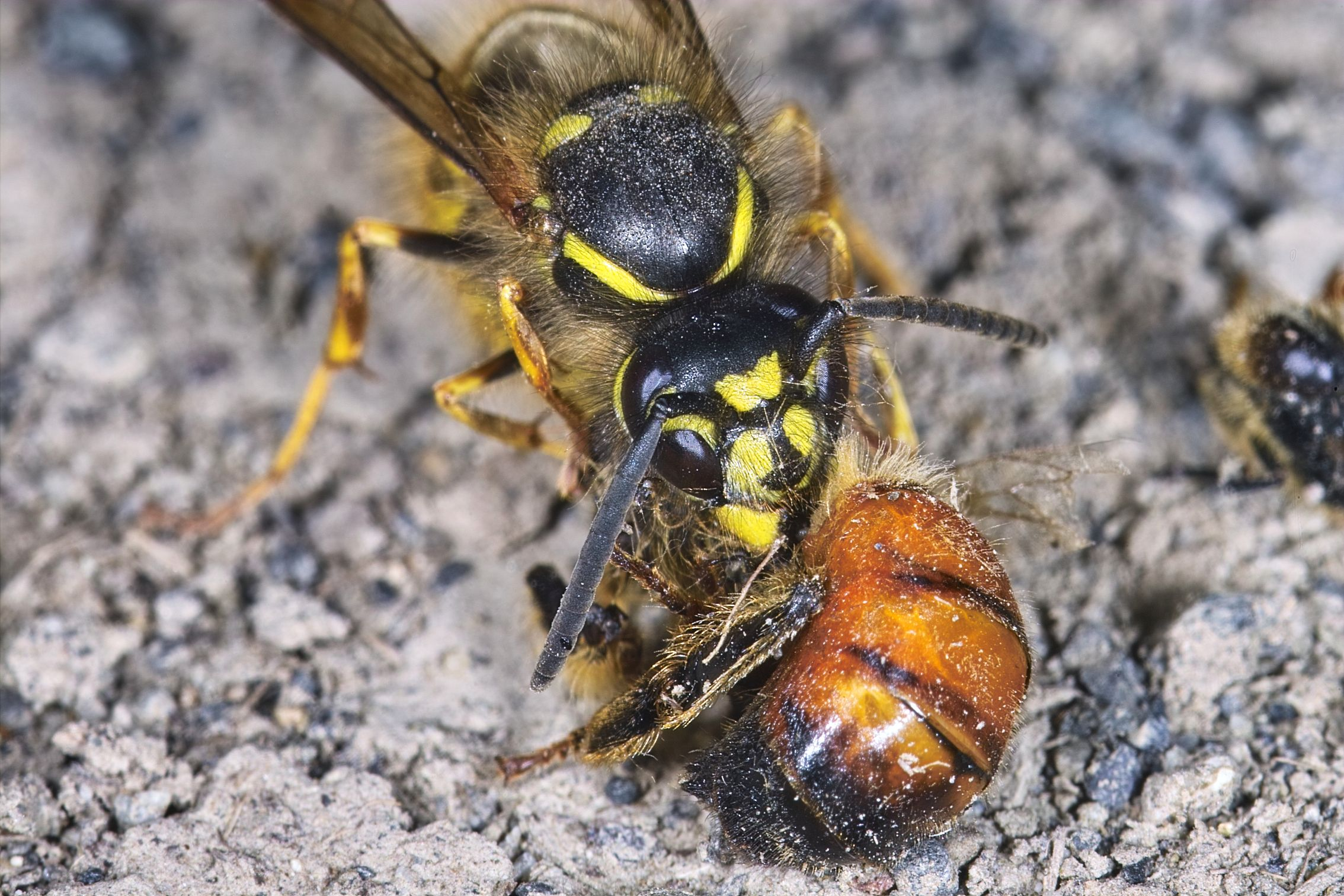 Re: Queen wasp species unknown: Sigma Camera Talk Forum ... Queen Bee Size Compared To Normal Bee