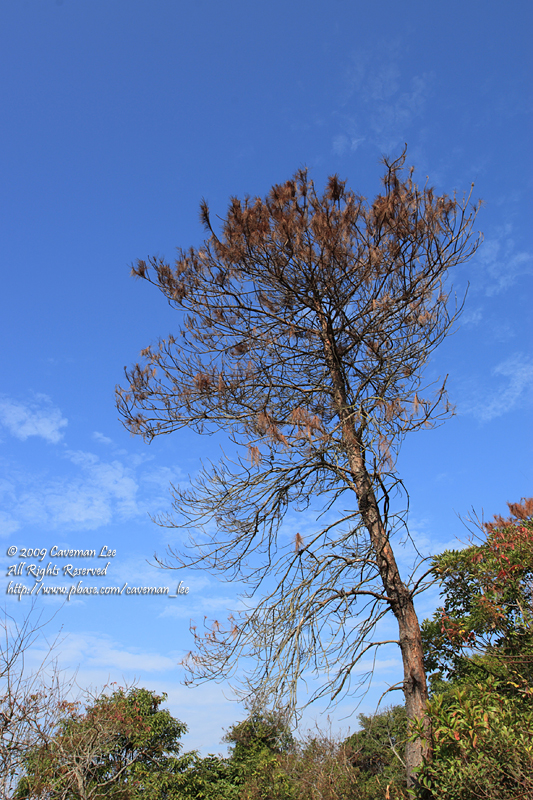 Tree @ Hoi Ha