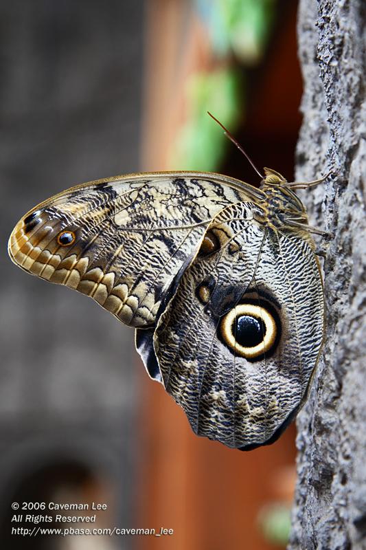 Butterfly (Caligo atreus)