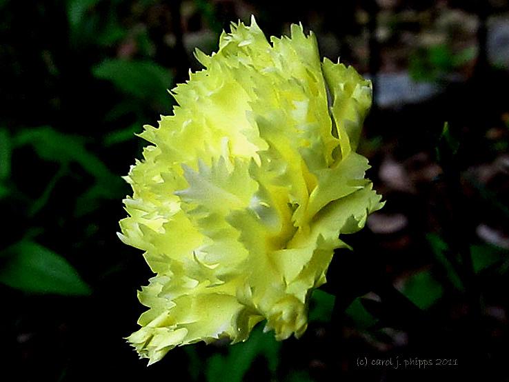 First Carnation of Season