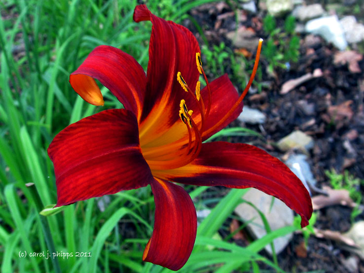 Late Bloomer ~ Day Lily