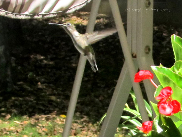 Female Hummingbird.