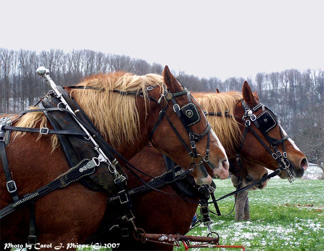 Draft Horse Team WV.
