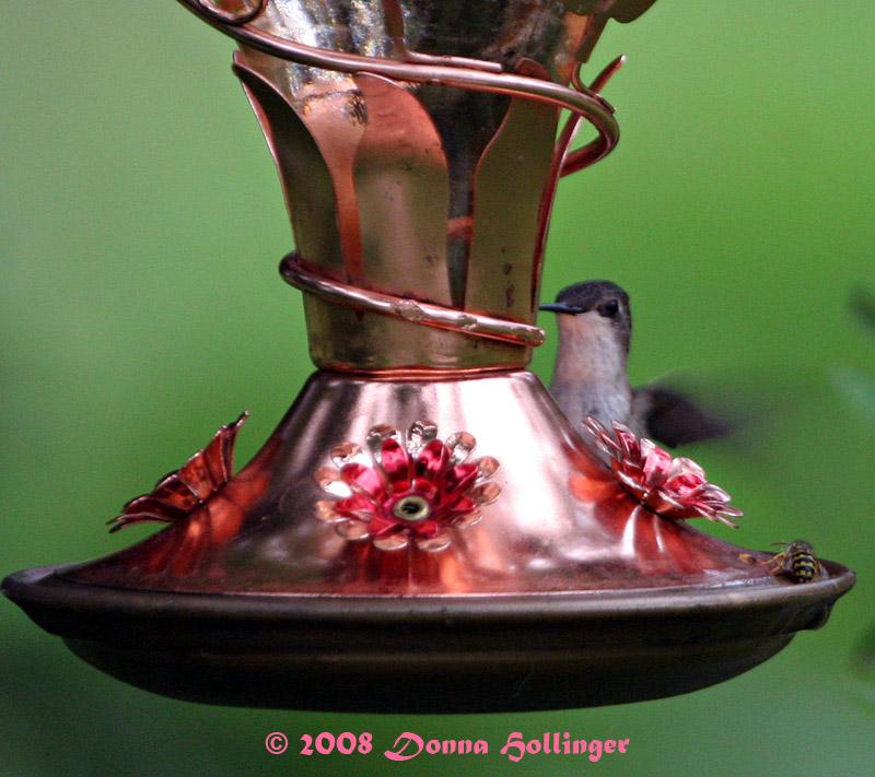 Female Hummingbird and The Bee