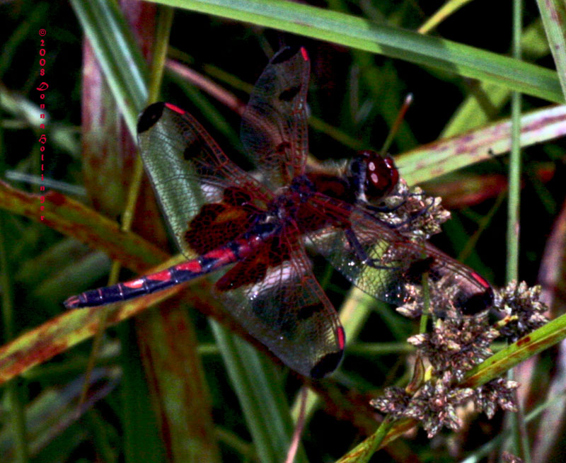 Red Dragonfly with Saddlebags
