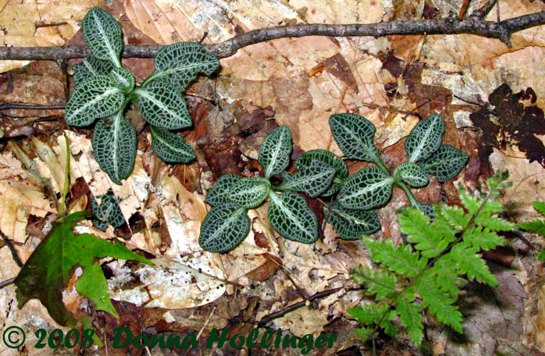 Rattlesnake Plantain Orchid