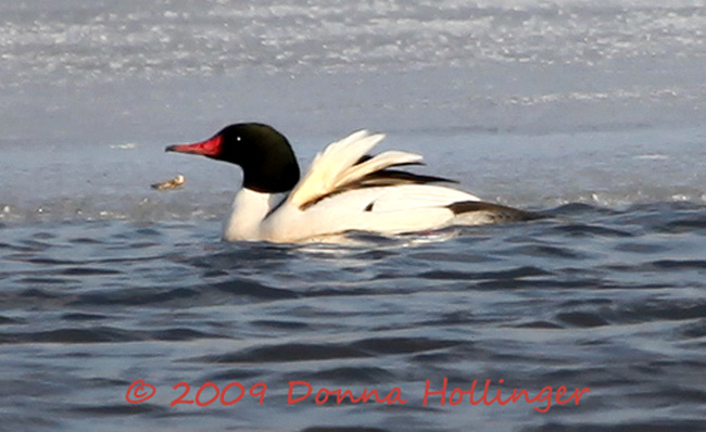 Common Merganser Drake