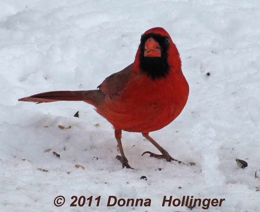 Male Cardinal Ground Feeding