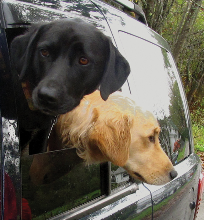 Labradors, Maggie and Jack