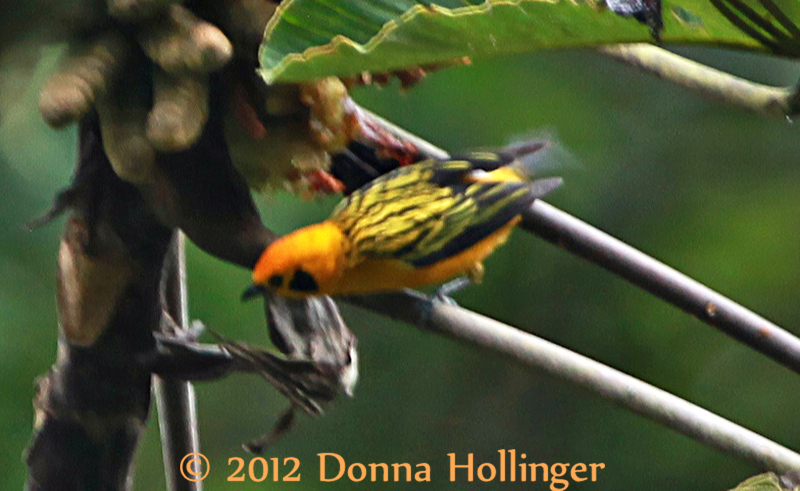 Golden Tanager (a very Jumpy one!)