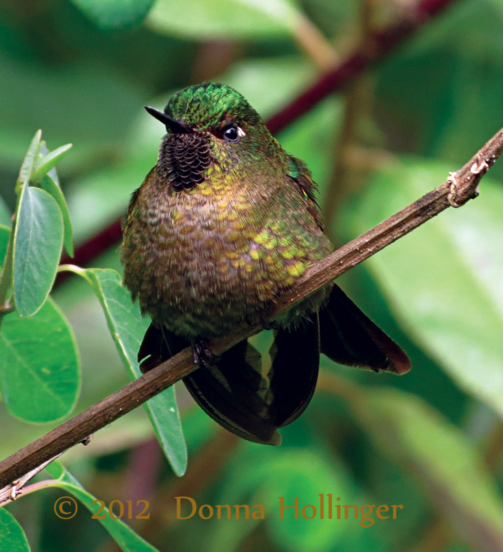 Tyrian Metaltail?