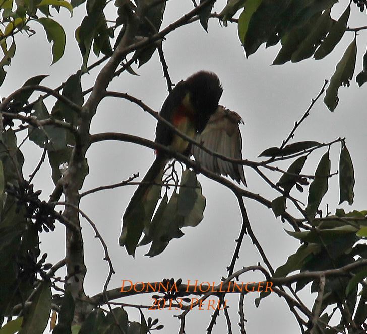 Lettered Aracari  in Cecropia Tree