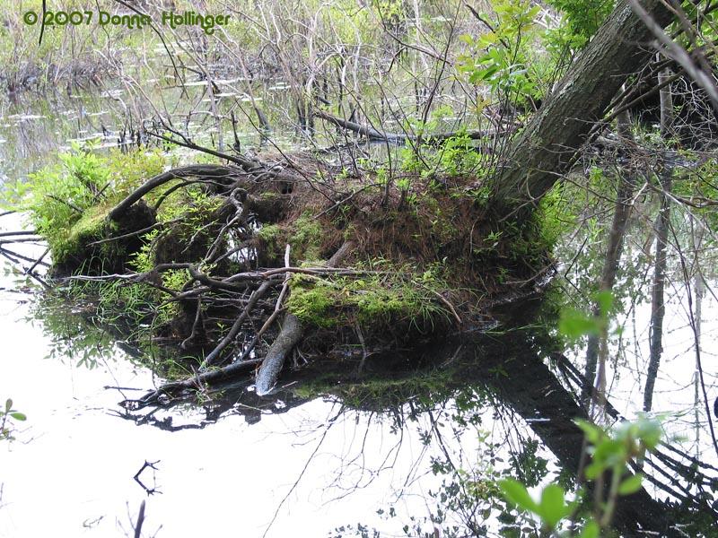 Beaver Chew
