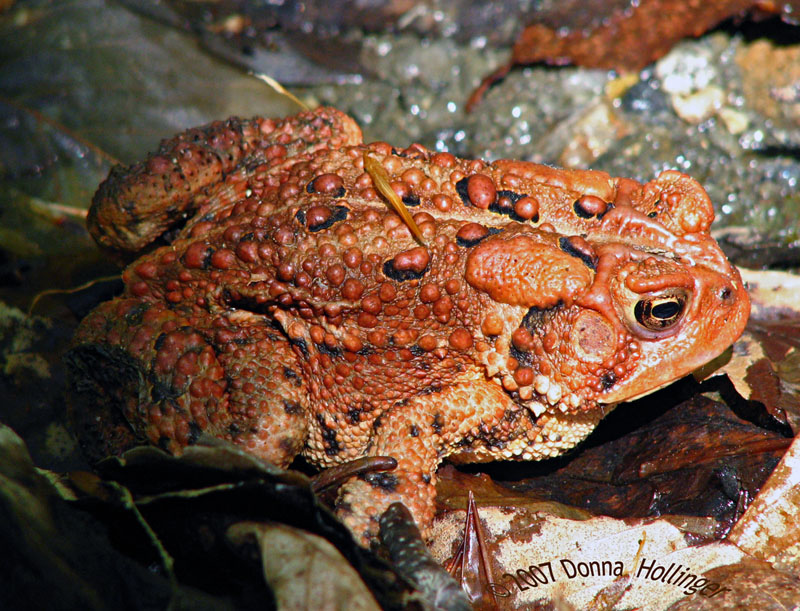 Red Toad Encounter