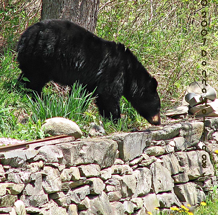 Bear with suet cake
