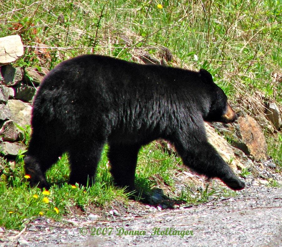 Webster the Bear, Strolling