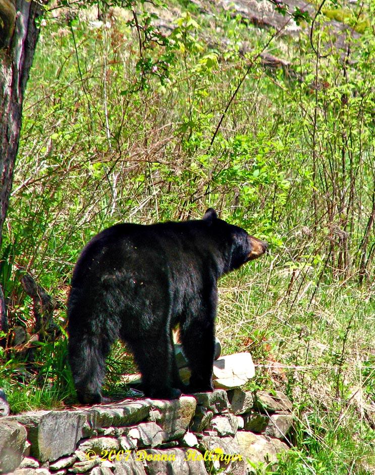 Webster the Bear