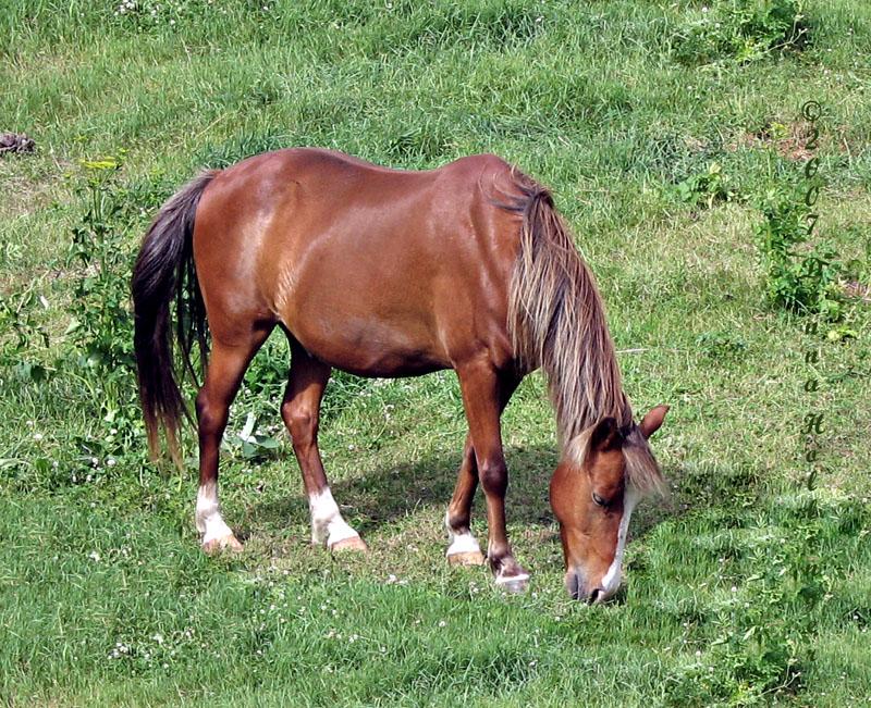 Vermont Horse Grazing