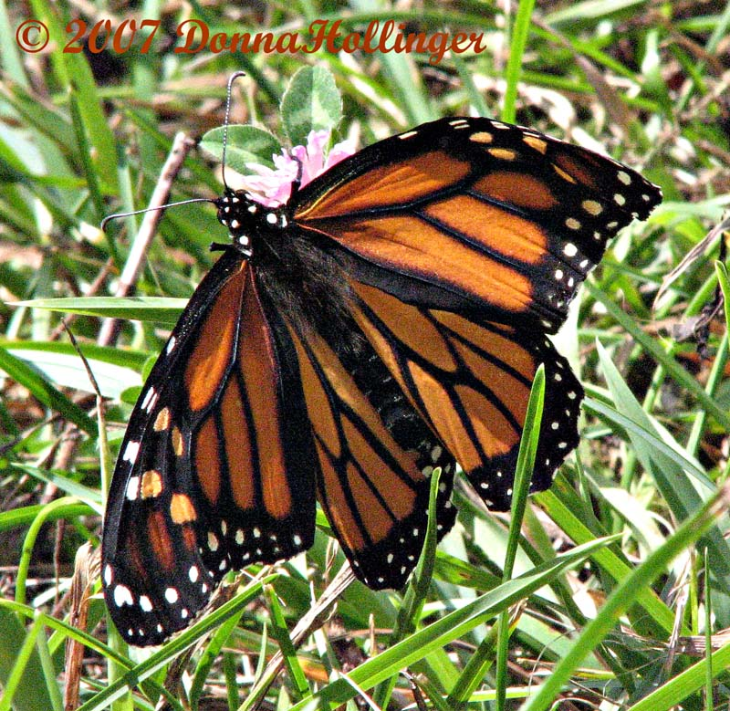 Monarch with a folded wing