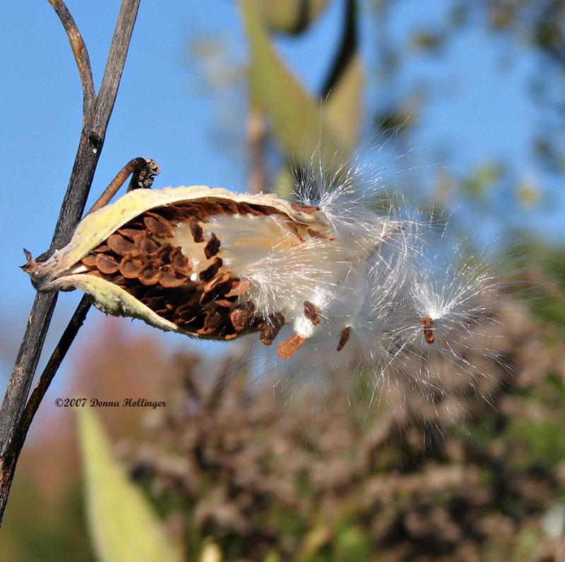 Milkweed Seeds in the Wind III