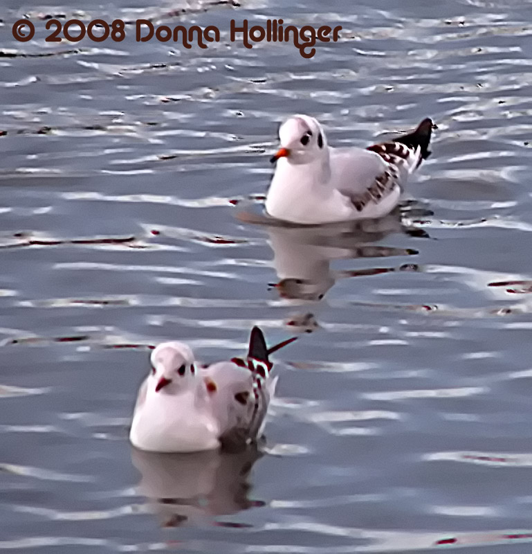 First winter Black-headed Gulls