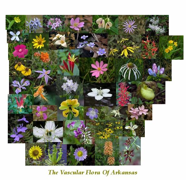 Arkansas Native Wildflowers (2nd Ed.)