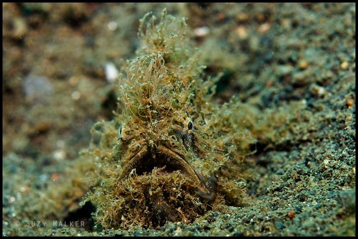 Hairy frog fish