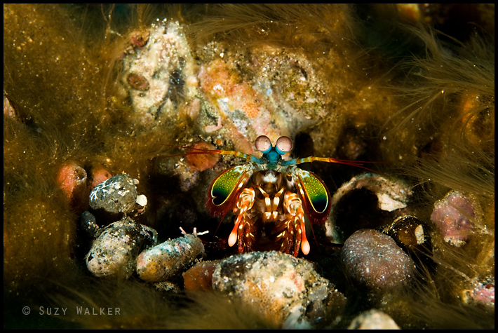 colourful mantis shrimp