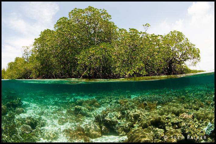 Mangrove Under-Over - coral garden