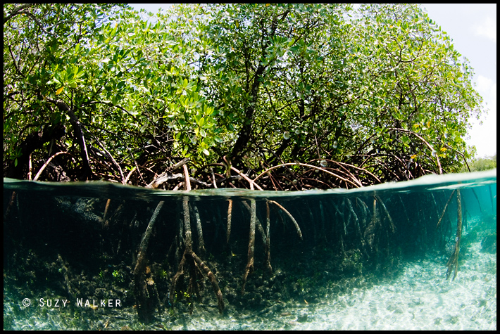 Mangrove Under-Over - roots