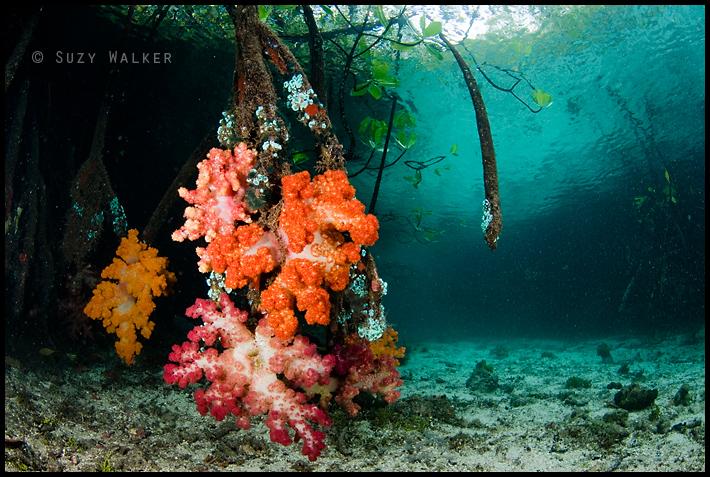 Sort corals