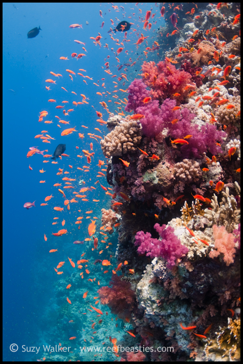 Reef scene with soft coral