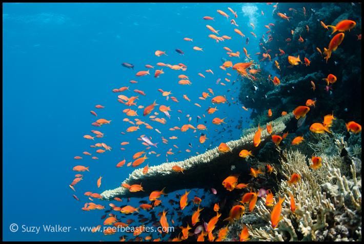Reef scene with anthias