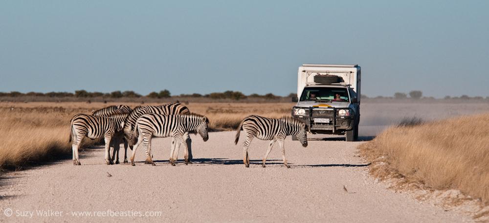 Zebra in the road