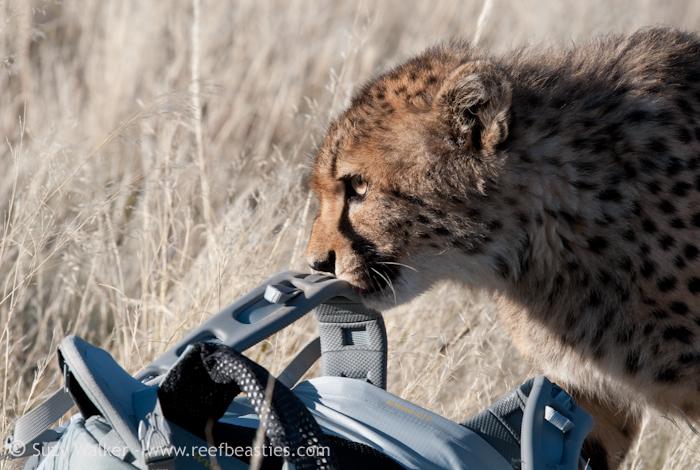 Naughty Cheetah ate another camera bag