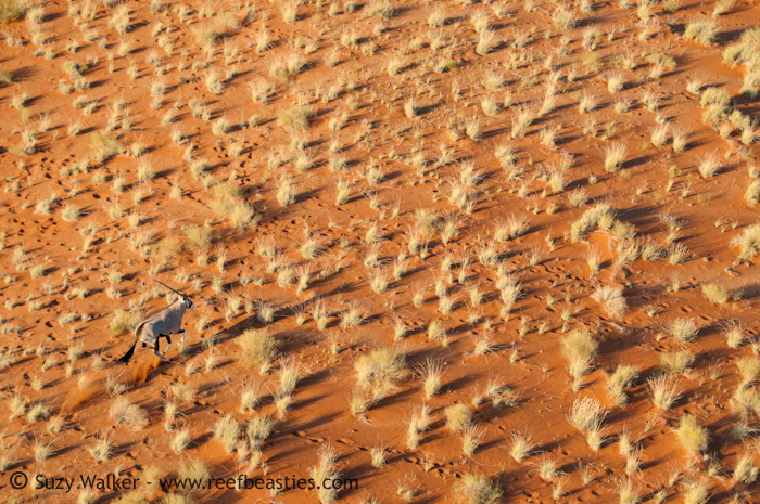 Oryx at the Dunes 2