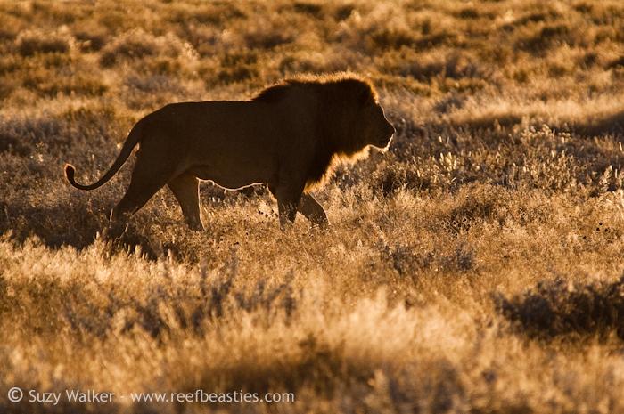 Pappa Lion
