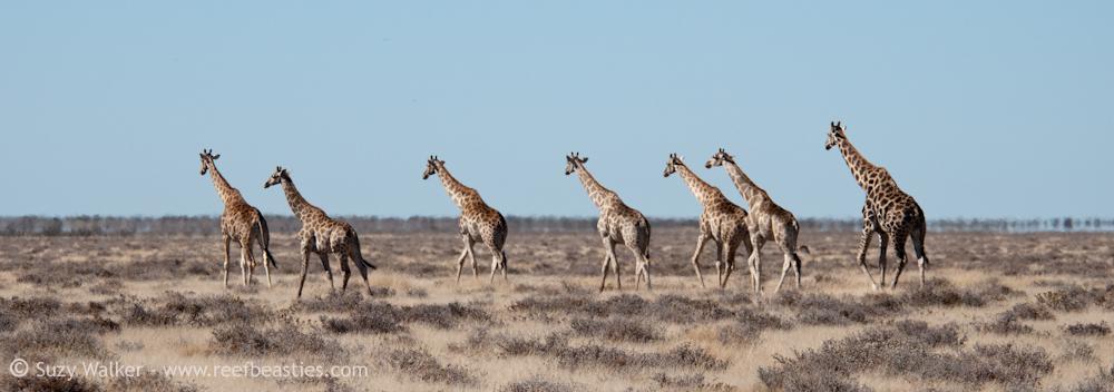 Giraffe Harem