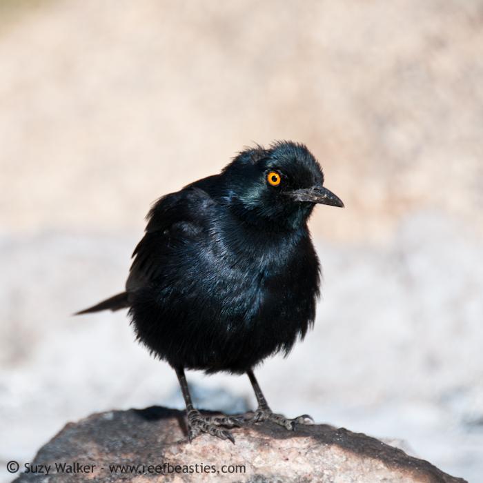 bird at Spitzkoppe