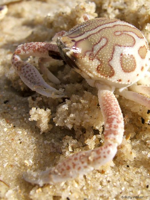 Local crab, Isla de la Juventud