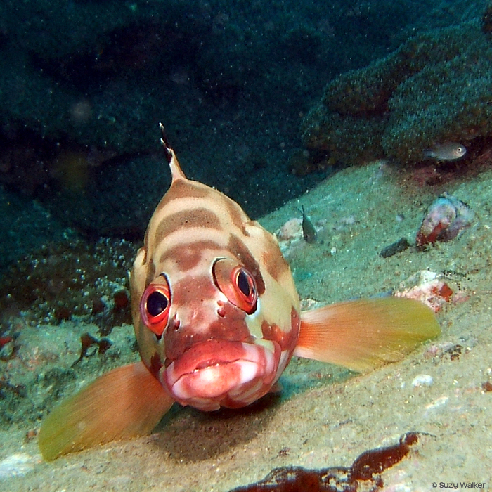 grouper blacktip grouper