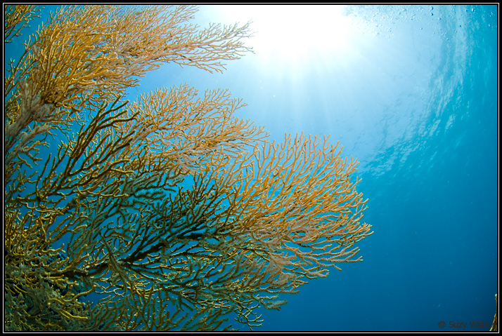 Fan Coral near the surface