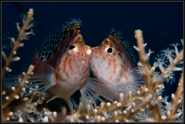 2 Tassled hawkfish