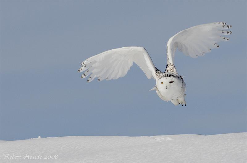 Harfang des neiges --- _E0k2130 --- Snowy Owl