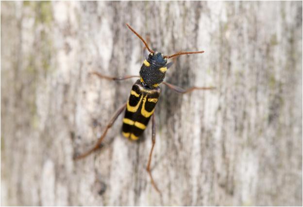 Wespenboktorfamilie - Xylotrechus arvicola