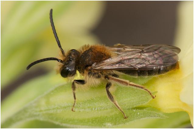 Roodgatje - Andrena haemorrhoa