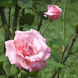 Les Rosées (July 2007)