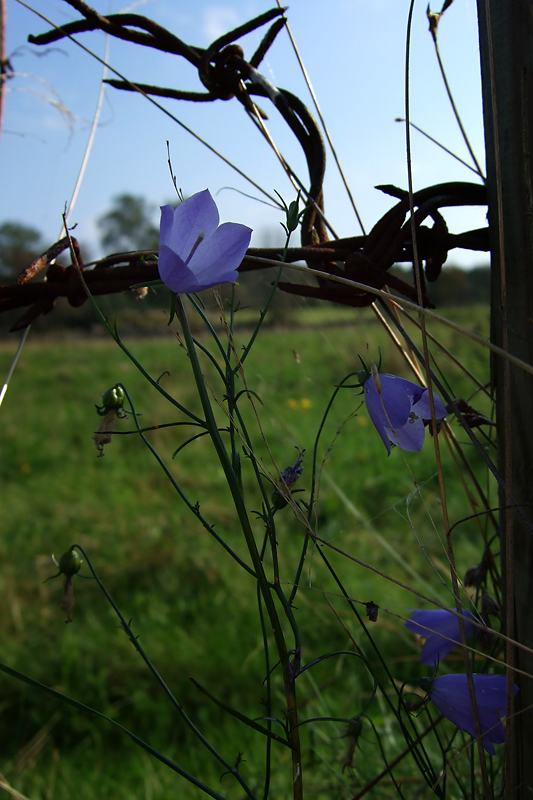 Bluebells and barbed wire (DSCF0217d.jpg)