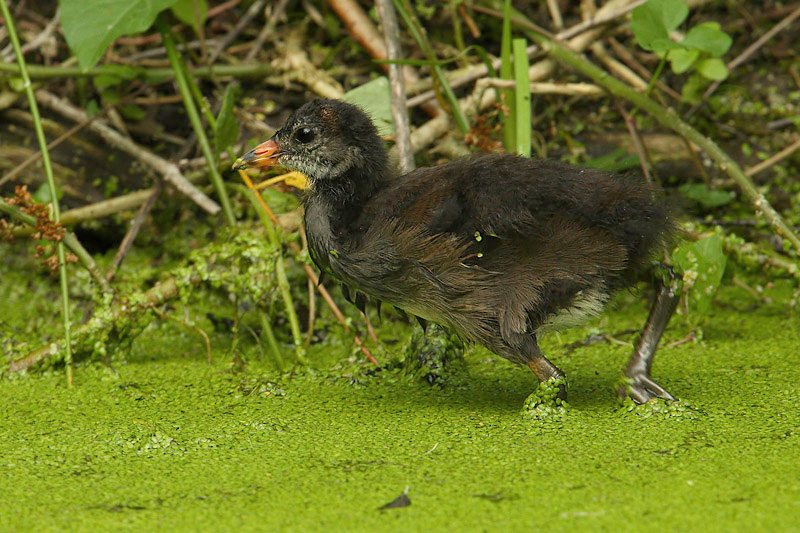 Common moorhen, Lonay, Switzerland, July 2008